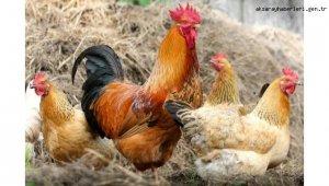 Tavuk eti üretimi 196 bin 963 ton, tavuk yumurtası üretimi 1,7 milyar adet olarak gerçekleşti