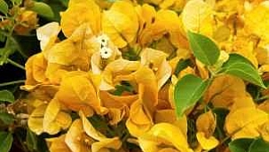 Begonvil Çiçeği Fiyatları ve Çeşitleri şimdi Rüzgar Botanik'de!